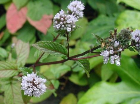 mentha-piperita.jpg